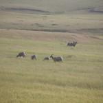 Wild sheep / Yaban koyunları