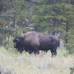 Buffalo bull / Bufalo boğası