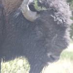 Buffalo headshot / Bufalonun vesikalık pozu