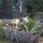 Snake River: Beaver leftovers / Kunduz artıkları